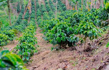 Tallo y ramas del café